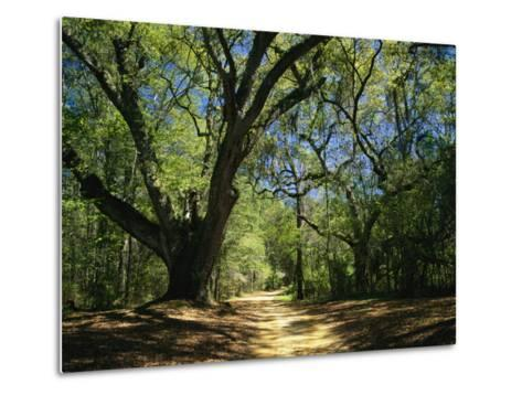 A Dirt Road Through a Forest Passes a Large Tree with Spanish Moss-Raymond Gehman-Metal Print