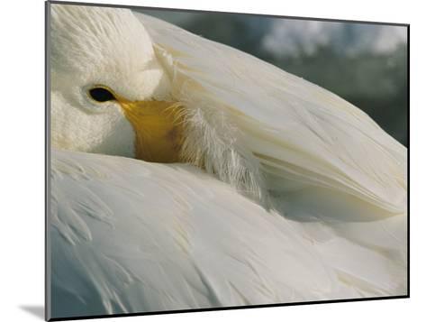 A Whooper Swan (Cygnus Cygnus) Keeps an Eye out as it Takes a Nap-Tim Laman-Mounted Photographic Print