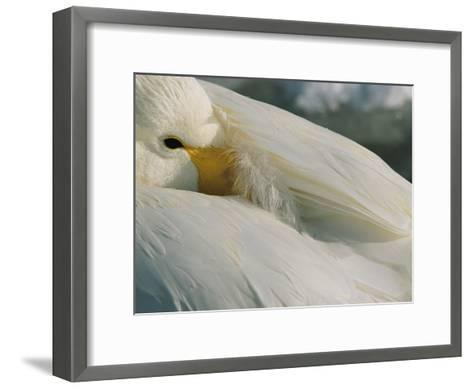 A Whooper Swan (Cygnus Cygnus) Keeps an Eye out as it Takes a Nap-Tim Laman-Framed Art Print