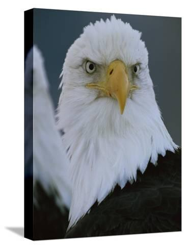 A Portrait of an American Bald Eagle-Klaus Nigge-Stretched Canvas Print