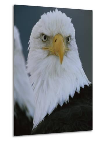 A Portrait of an American Bald Eagle-Klaus Nigge-Metal Print