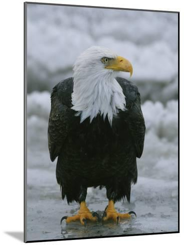 An American Bald Eagle Stands on the Shoreline-Klaus Nigge-Mounted Photographic Print