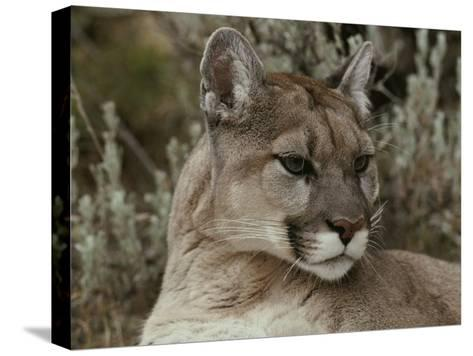 Portrait of a Mountain Lion-Jim And Jamie Dutcher-Stretched Canvas Print