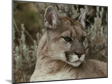 Portrait of a Mountain Lion-Jim And Jamie Dutcher-Mounted Photographic Print