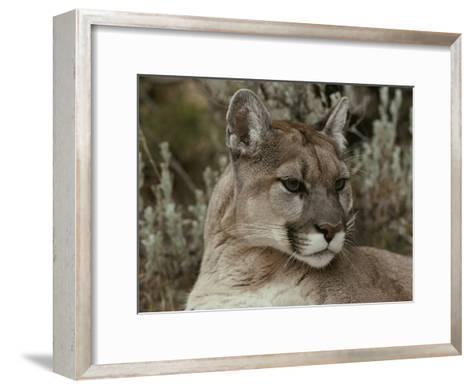 Portrait of a Mountain Lion-Jim And Jamie Dutcher-Framed Art Print