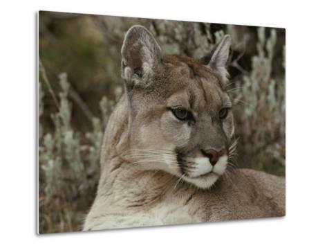 Portrait of a Mountain Lion-Jim And Jamie Dutcher-Metal Print