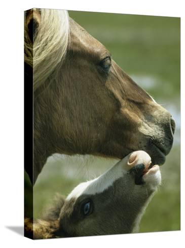 Wild Pony Foal Nuzzling its Mother-James L^ Stanfield-Stretched Canvas Print