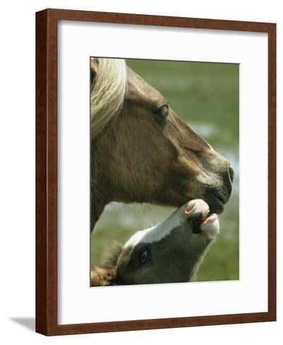 Wild Pony Foal Nuzzling its Mother-James L^ Stanfield-Framed Art Print