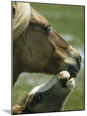 Wild Pony Foal Nuzzling its Mother-James L^ Stanfield-Mounted Photographic Print