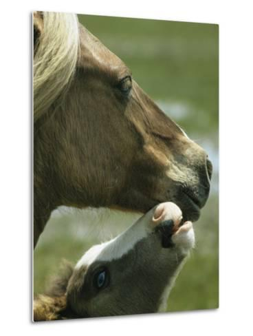 Wild Pony Foal Nuzzling its Mother-James L^ Stanfield-Metal Print