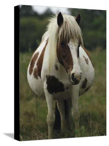 Portrait of a Pregnant Assateague Wild Pony Mare-James L^ Stanfield-Stretched Canvas Print