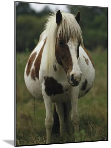 Portrait of a Pregnant Assateague Wild Pony Mare-James L^ Stanfield-Mounted Photographic Print