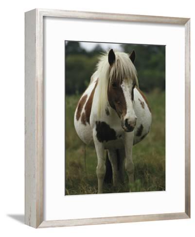 Portrait of a Pregnant Assateague Wild Pony Mare-James L^ Stanfield-Framed Art Print