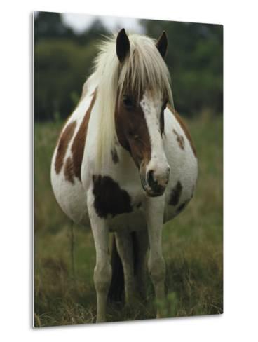 Portrait of a Pregnant Assateague Wild Pony Mare-James L^ Stanfield-Metal Print