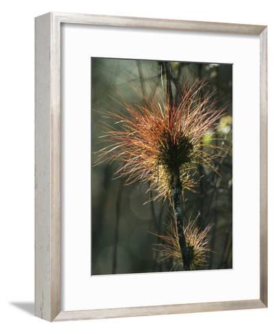 Air Plants Adorn a Tree in South Florida-Klaus Nigge-Framed Art Print
