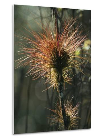 Air Plants Adorn a Tree in South Florida-Klaus Nigge-Metal Print