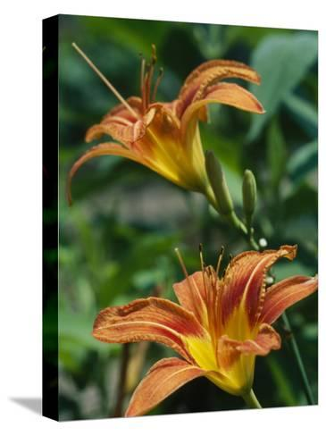 View of a Tiger Lily-Taylor S^ Kennedy-Stretched Canvas Print