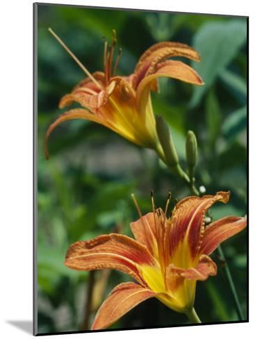 View of a Tiger Lily-Taylor S^ Kennedy-Mounted Photographic Print