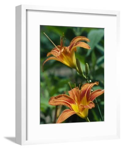 View of a Tiger Lily-Taylor S^ Kennedy-Framed Art Print