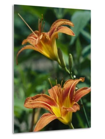 View of a Tiger Lily-Taylor S^ Kennedy-Metal Print