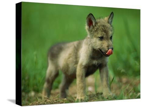 A Gray Wolf Cub Licks His Nose-Joel Sartore-Stretched Canvas Print