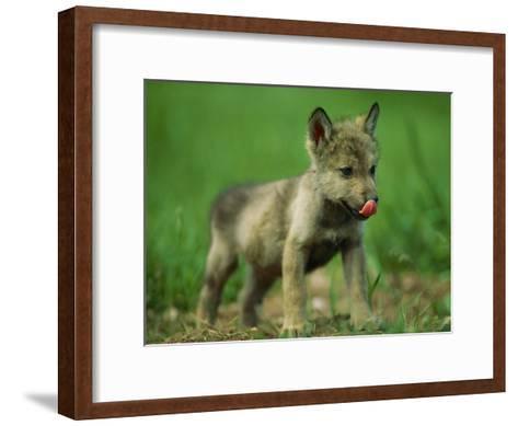 A Gray Wolf Cub Licks His Nose-Joel Sartore-Framed Art Print