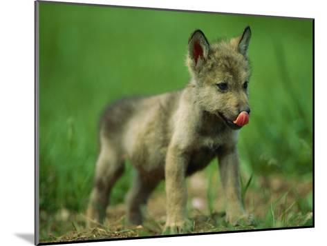 A Gray Wolf Cub Licks His Nose-Joel Sartore-Mounted Photographic Print