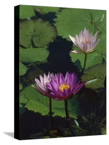 Fragrant Water Lily Flowers-Richard Nowitz-Stretched Canvas Print