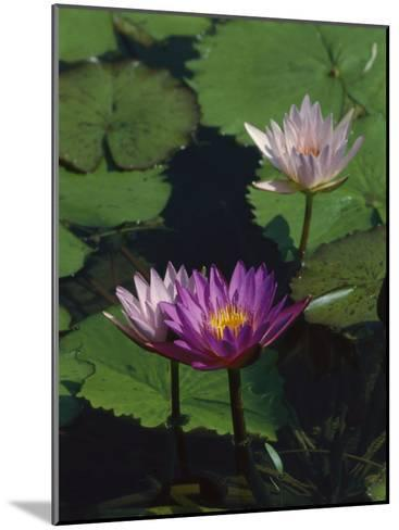Fragrant Water Lily Flowers-Richard Nowitz-Mounted Photographic Print
