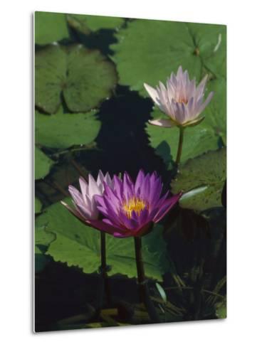 Fragrant Water Lily Flowers-Richard Nowitz-Metal Print