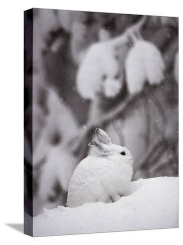 Portrait of a Snowshoe Hare-Michael S^ Quinton-Stretched Canvas Print