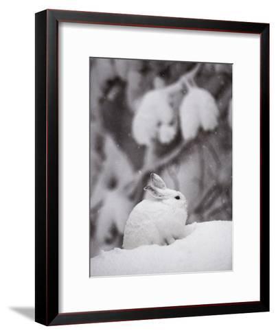 Portrait of a Snowshoe Hare-Michael S^ Quinton-Framed Art Print