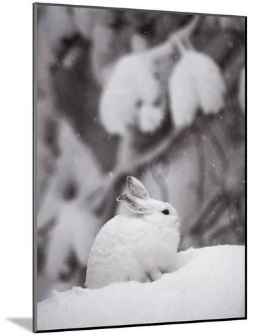 Portrait of a Snowshoe Hare-Michael S^ Quinton-Mounted Photographic Print