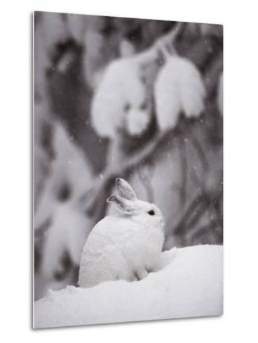 Portrait of a Snowshoe Hare-Michael S^ Quinton-Metal Print