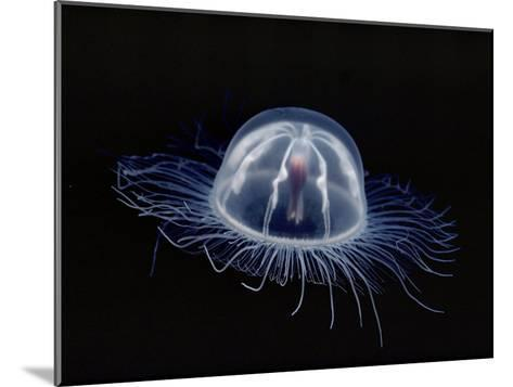 An Inch Long Transparent Jellyfish Glows in the Dark-Bill Curtsinger-Mounted Photographic Print