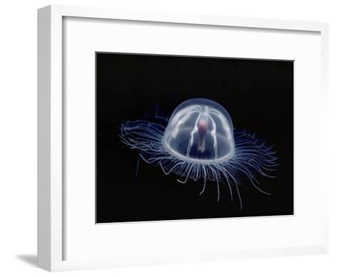 An Inch Long Transparent Jellyfish Glows in the Dark-Bill Curtsinger-Framed Art Print