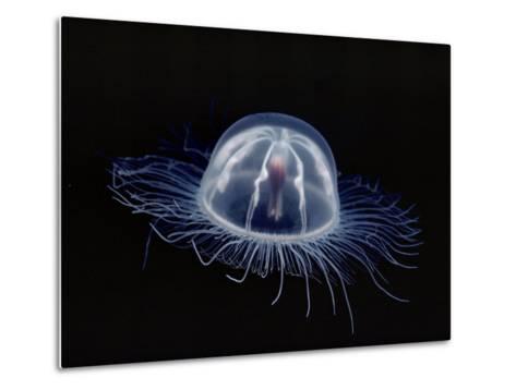 An Inch Long Transparent Jellyfish Glows in the Dark-Bill Curtsinger-Metal Print