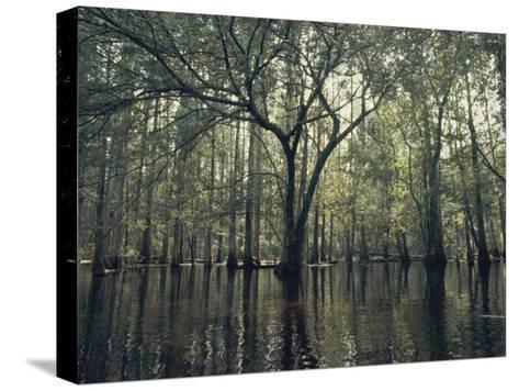 Trees Stick out of the Water-Bill Curtsinger-Stretched Canvas Print