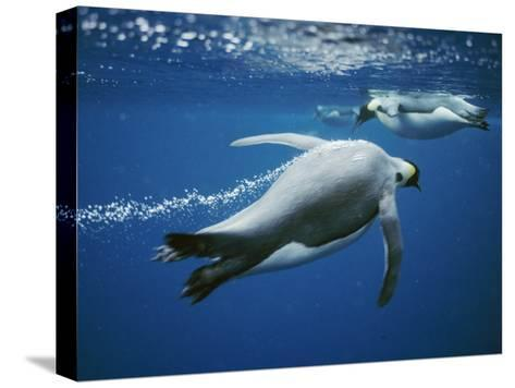 Emperor Penguins Swimming in the Ocean-Bill Curtsinger-Stretched Canvas Print