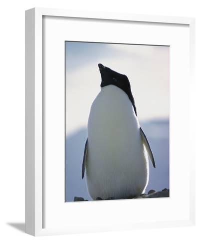 An Adelie Penguin-Bill Curtsinger-Framed Art Print
