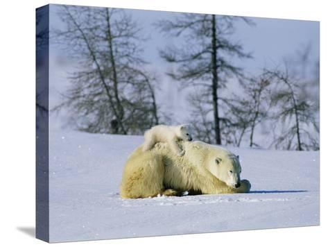 A Young Polar Bear Rests on the Back of its Mother-Norbert Rosing-Stretched Canvas Print