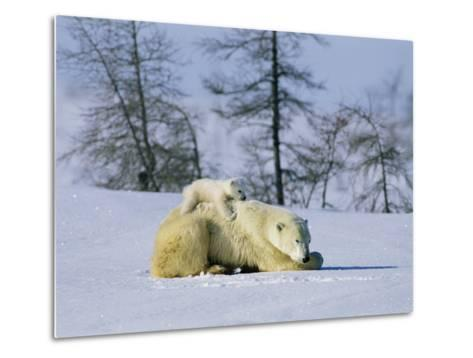 A Young Polar Bear Rests on the Back of its Mother-Norbert Rosing-Metal Print