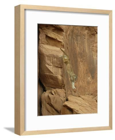 A Mountain Lion Soars Down the Side of a Cliff-Norbert Rosing-Framed Art Print