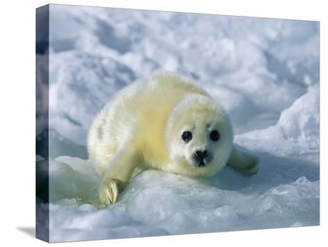 A Gray Seal Pup Stares Directly at the Camera-Norbert Rosing-Stretched Canvas Print
