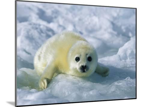 A Gray Seal Pup Stares Directly at the Camera-Norbert Rosing-Mounted Photographic Print