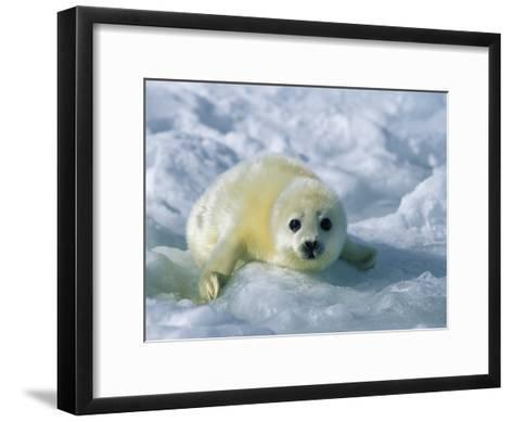 A Gray Seal Pup Stares Directly at the Camera-Norbert Rosing-Framed Art Print