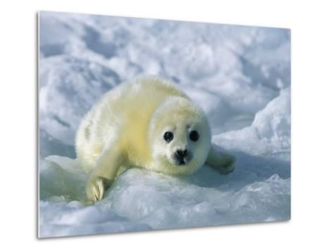 A Gray Seal Pup Stares Directly at the Camera-Norbert Rosing-Metal Print