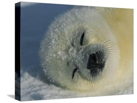 Resting Gray Seal Pup-Norbert Rosing-Stretched Canvas Print