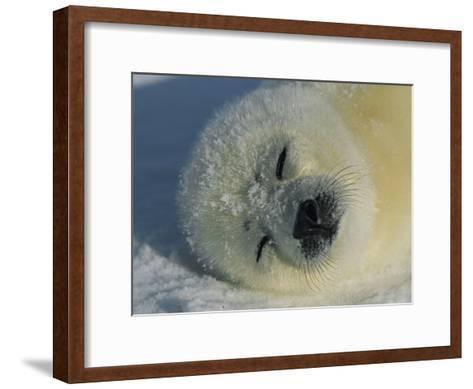 Resting Gray Seal Pup-Norbert Rosing-Framed Art Print