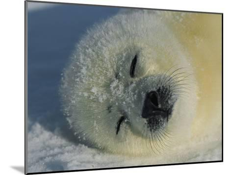 Resting Gray Seal Pup-Norbert Rosing-Mounted Photographic Print